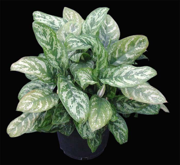 Articles De December 2008 Sur Au Jardin De Mo Et Marc Low Light Plants Plantas De Interior Plants