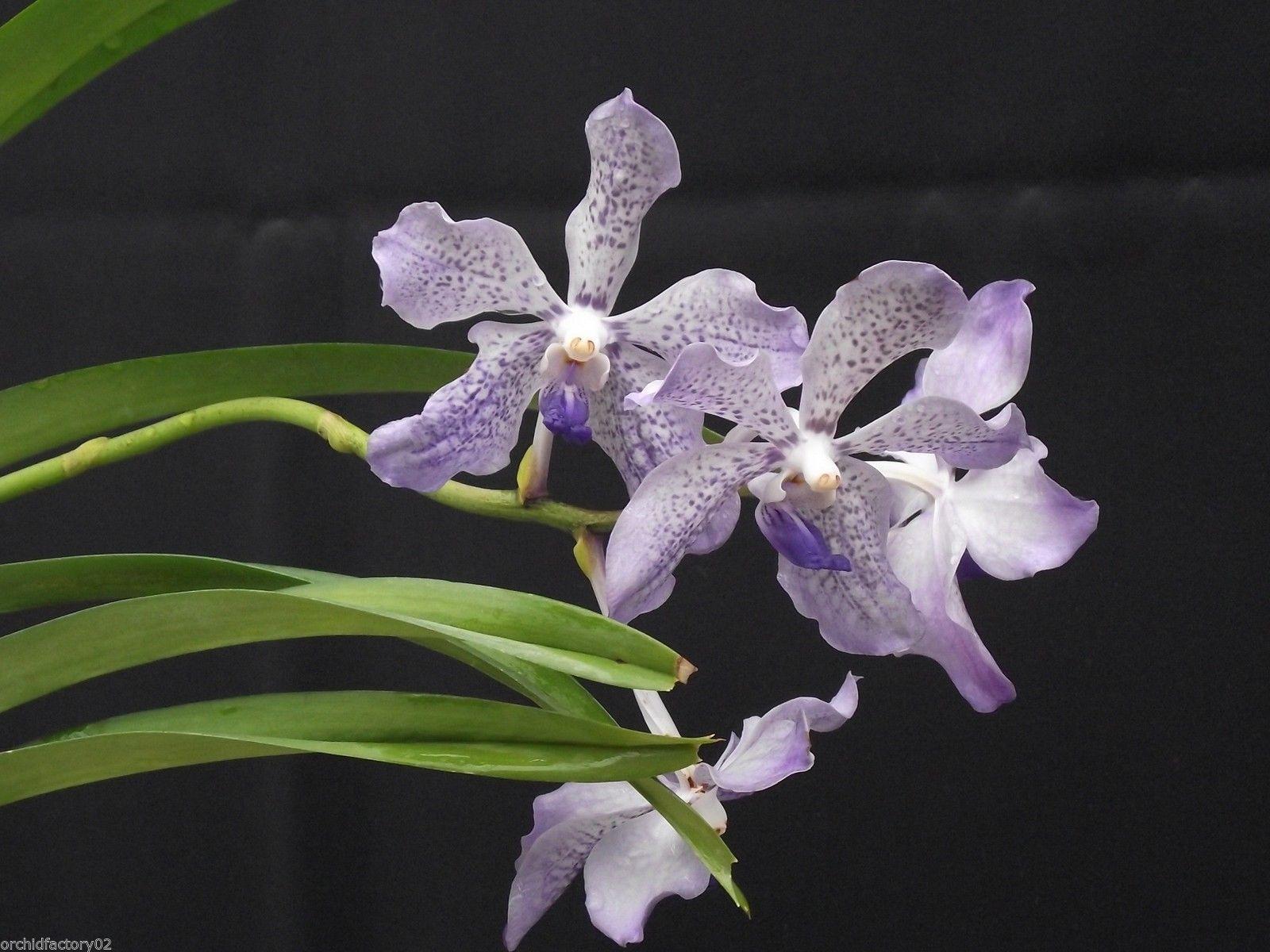 vanda tessellata x gordon dillon 01 bl hend flowering. Black Bedroom Furniture Sets. Home Design Ideas