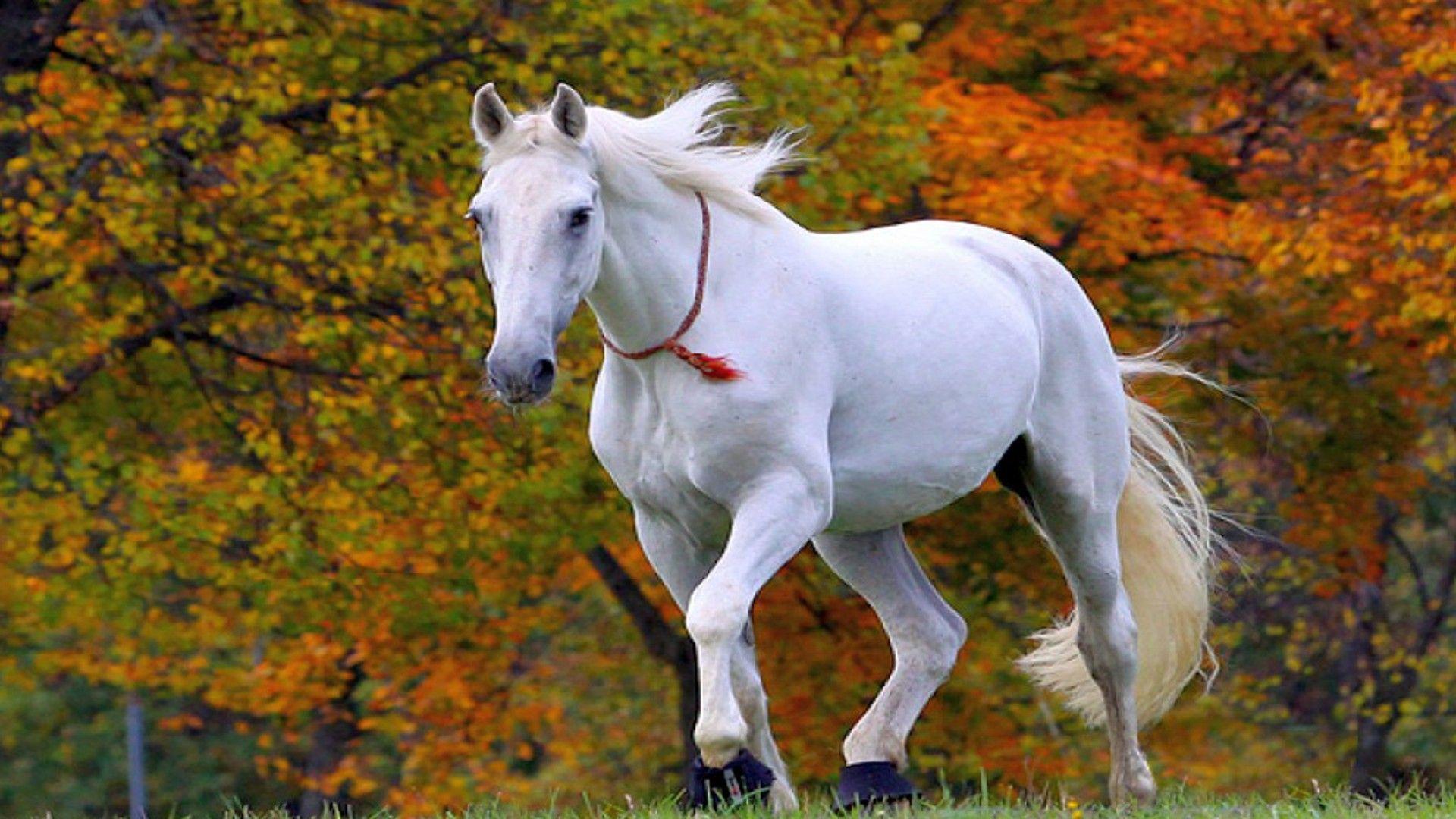 Lipizzan Horse Desktop Wallpaper Hd Widescreen Free