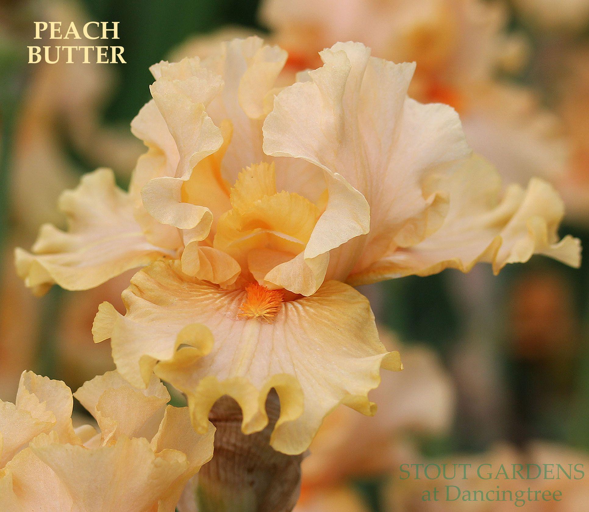 Iris PEACH BUTTER