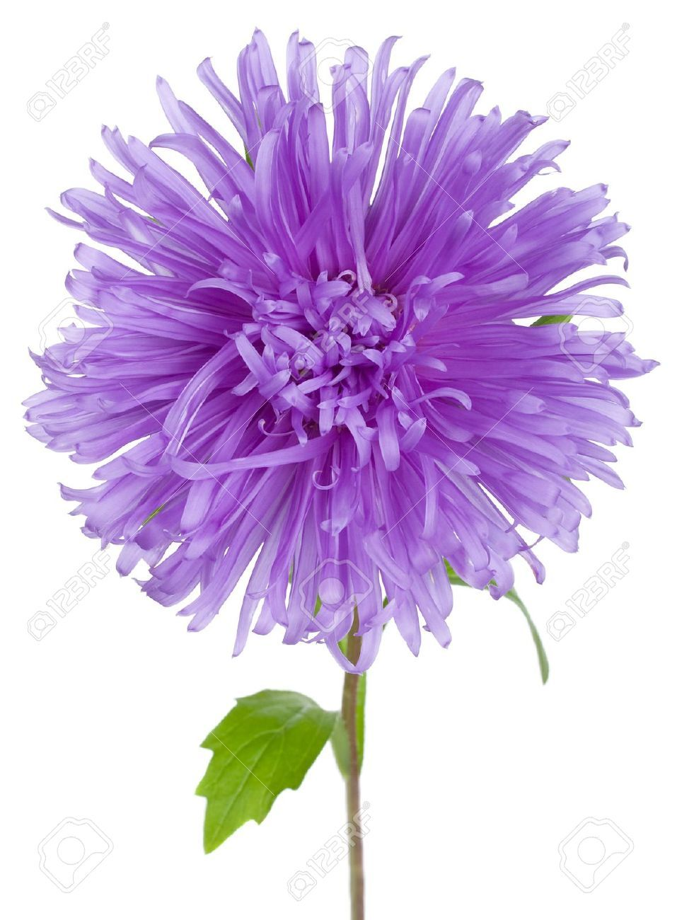 aster Google Search (With images) Aster flower, Aster