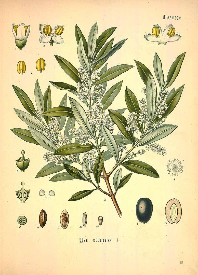 olive, Common Olive, Indian Olive http://plantillustrations.org ...