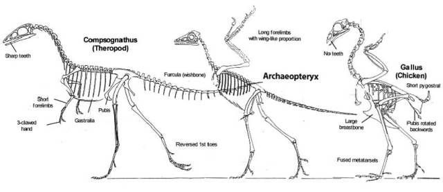 Archaeopteryx exolution missing link transitional fossil