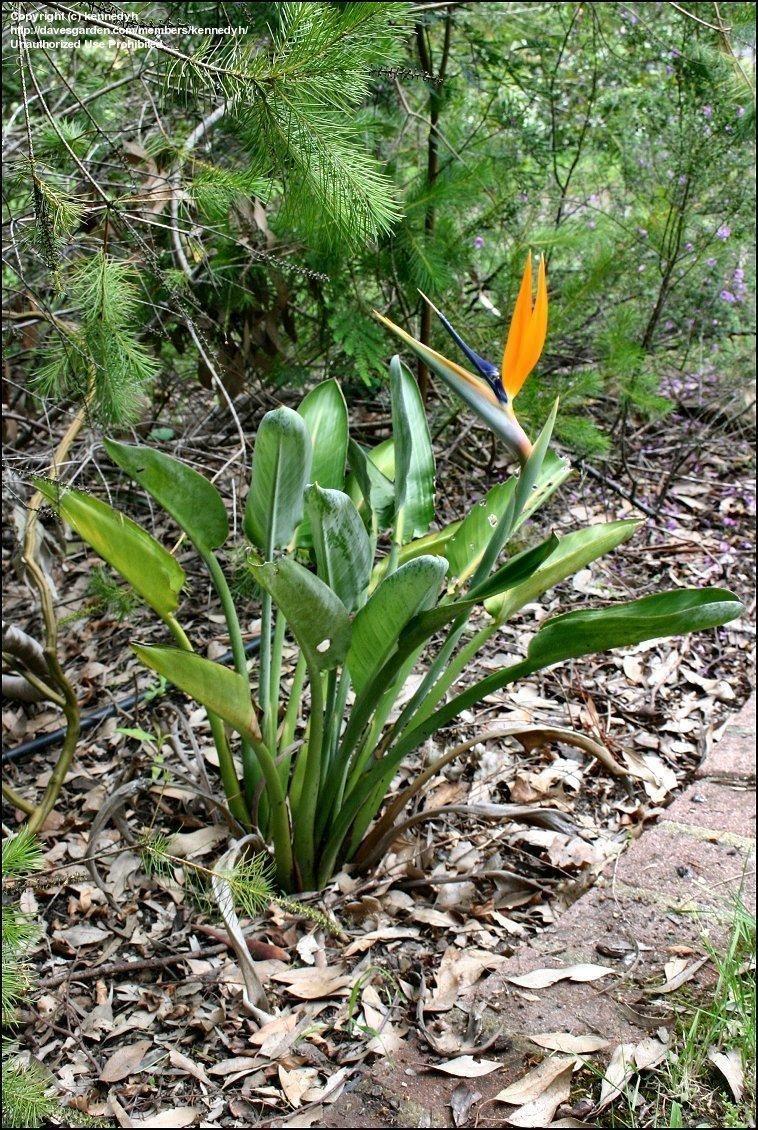 Full Size Picture Of Bird Of Paradise Crane Flower Strelitzia Reginae Paradise Plant Birds Of Paradise Strelitzia Plant