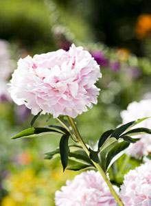 Kotiliesi - Jalopionit ovat näyttäviä kukkia