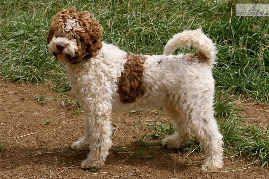 Ducketts at Lagotto Romagnolo of Canada, DCKLAGOTTO Kennels, are proud to…