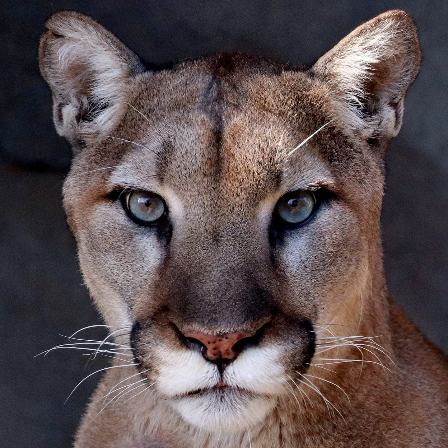Pin by Lilin Chu on Animal どうぶつ 動物 Mountain lion, Cat