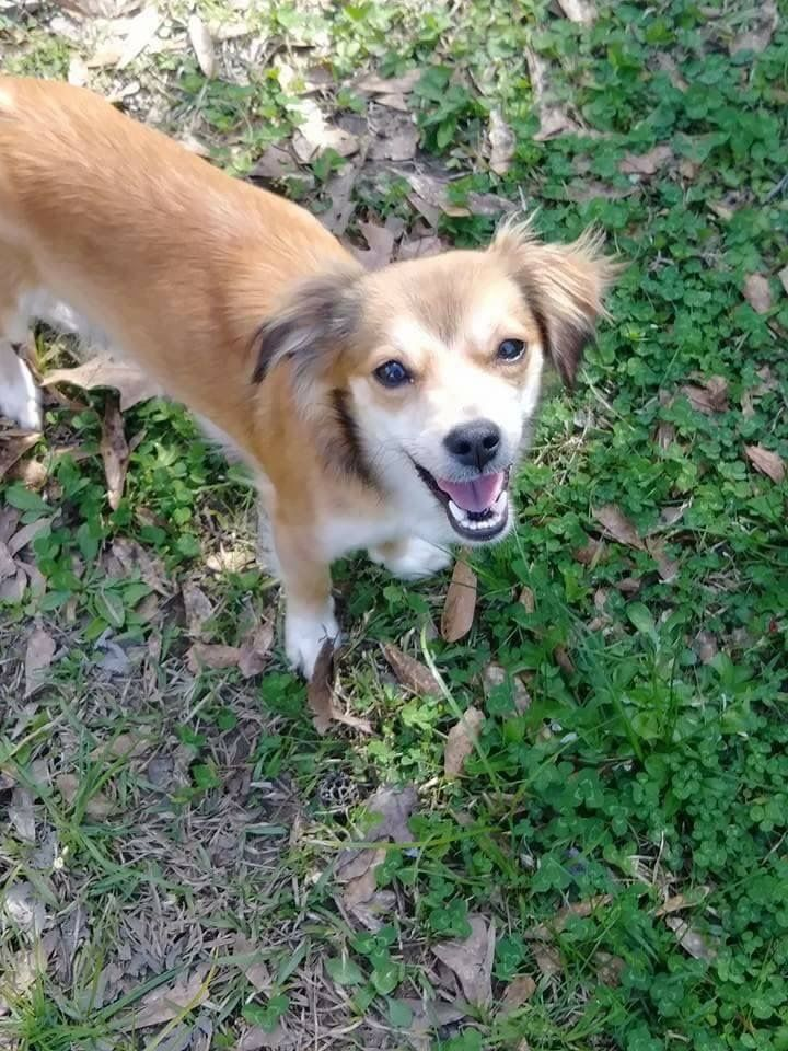 Adopt Sophie on (With images) Paws and claws, Chihuahua