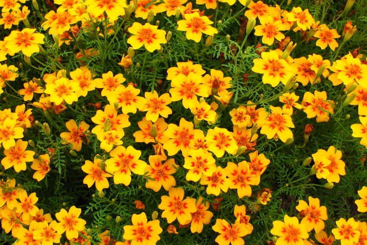 Flowers Of The Dead And Natural Pest-Killers? Marigolds! #mexicanculture Marigolds are easy-growing, keep pests at bay, are often edible, and are the flower of the dead in Mexican culture. Learn to grow them here! #mexicanculture