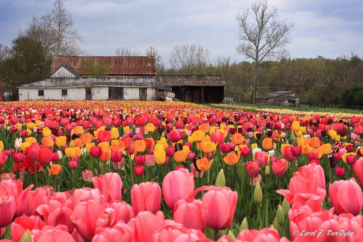 Spring Burnside Farms Flower Festival Virginia Is For Lovers