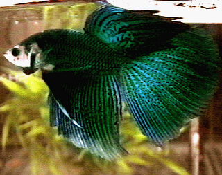 Very Rare Betta- reminds me of a green terror or Jack Dempsey! So pretty! ❤