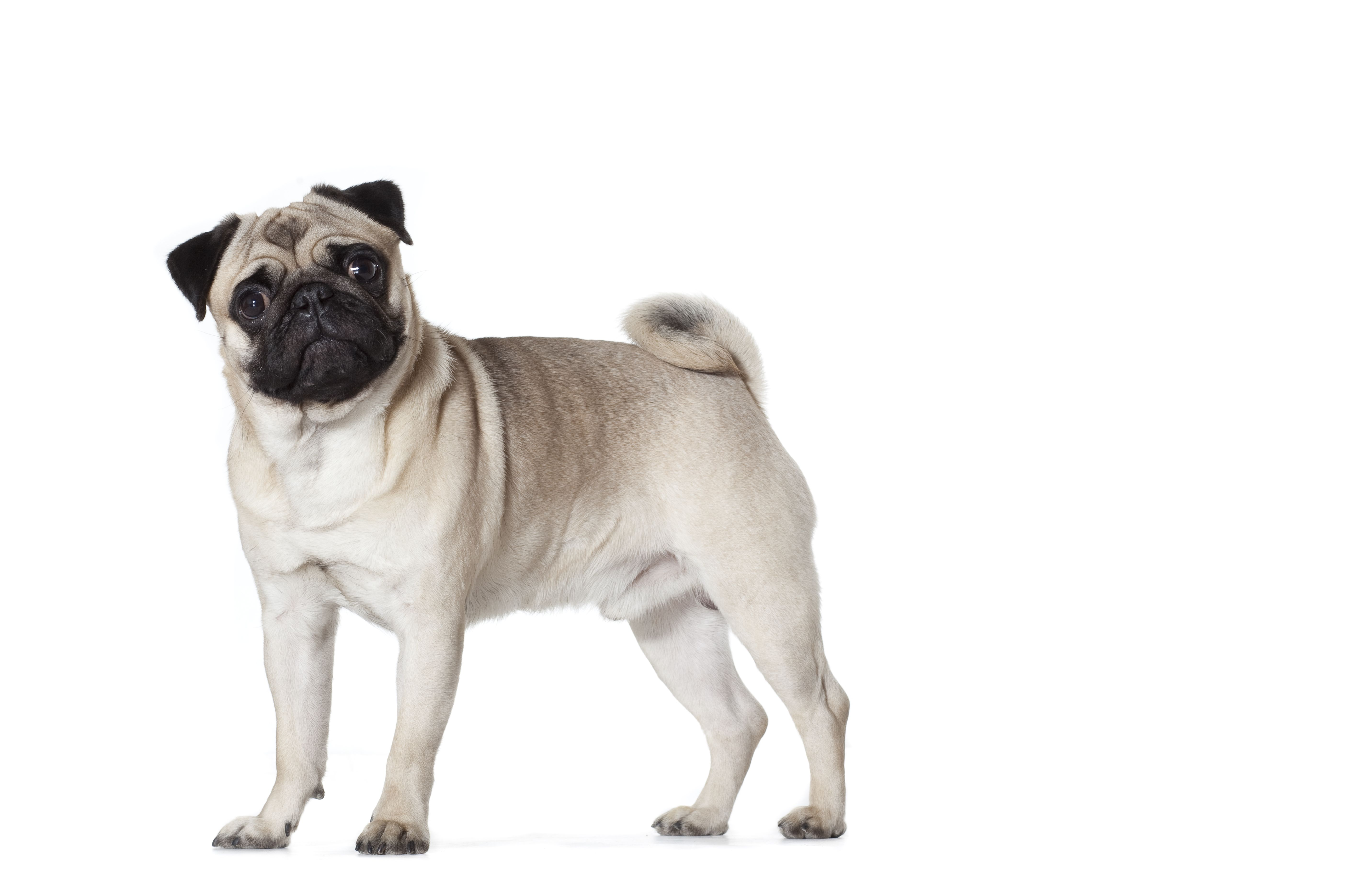 The American Kennel Club Says The Pug Is One Of The Oldest Breeds