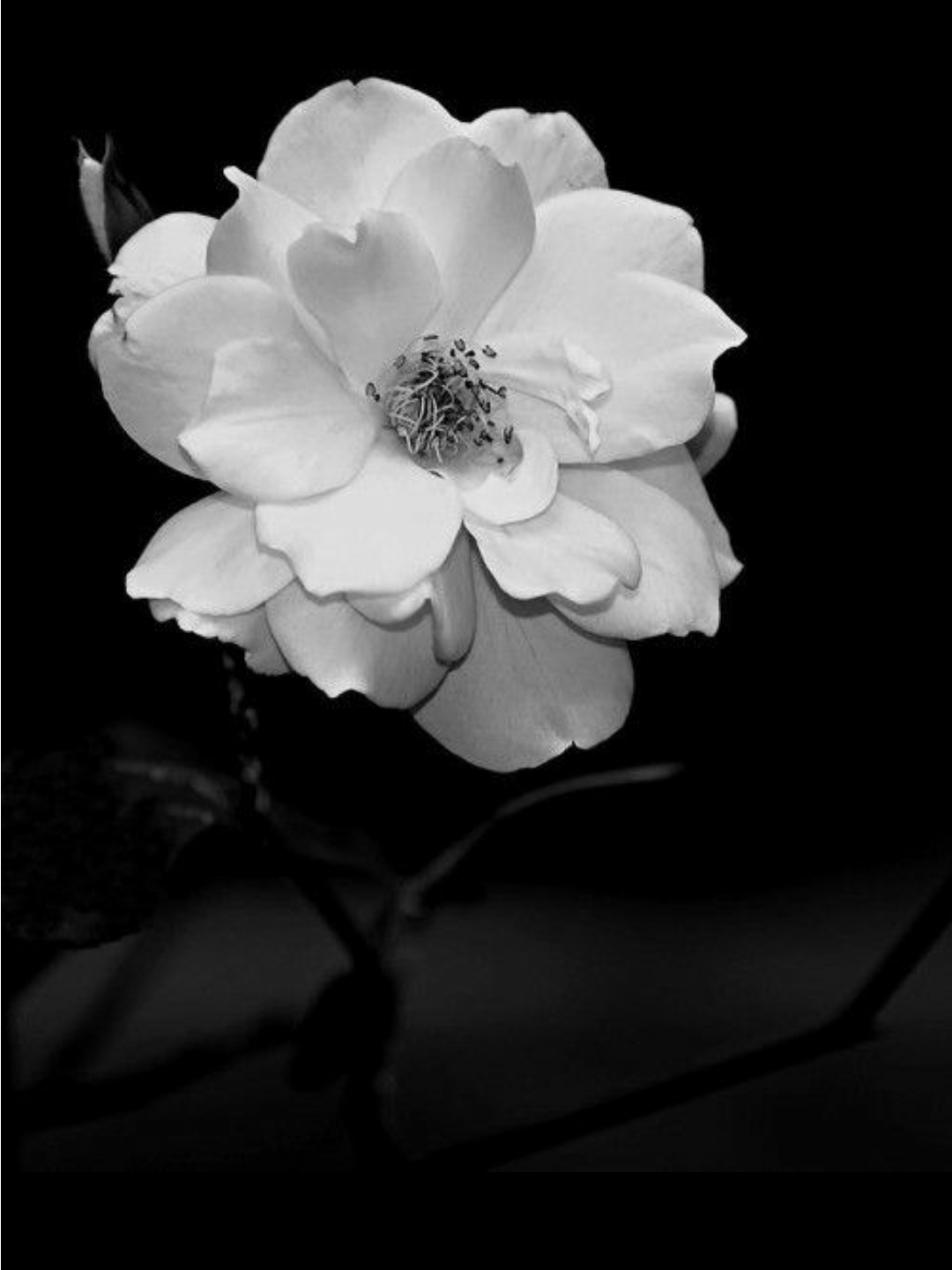 Pin by Carmen Crawford on White White flowers, Flowers