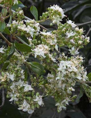 Henna Lawsonia Inermis Herbs Spices Plants Blooming Plants