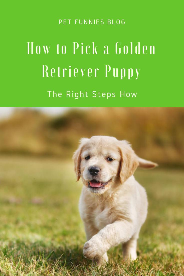Hoe Kies Je Een Golden Retriever Puppy De Juiste Stappen Hoe Het Kiezen Van Een Golden Retriever Puppy Is N In 2020 Golden Retriever Puppy Retriever Puppy Puppies