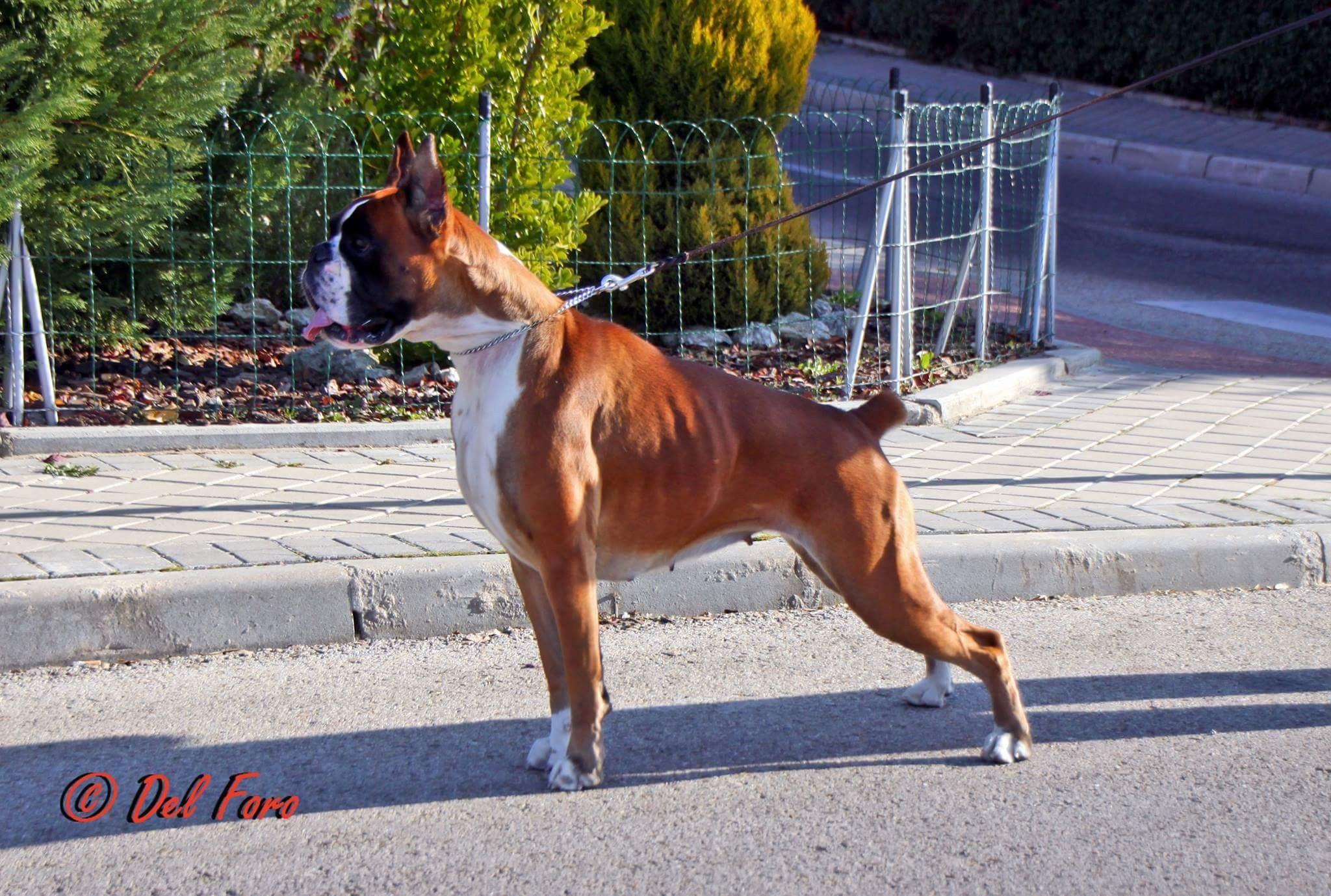 Pin By Manny Rojo On Boxers Boxer Dogs Dogs Boxer