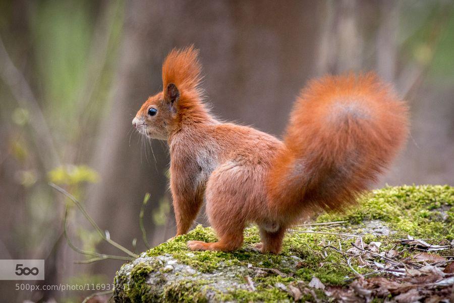 fluffy redhead by c_h_r_i_s_t_i_a_n. Please Like http//fb