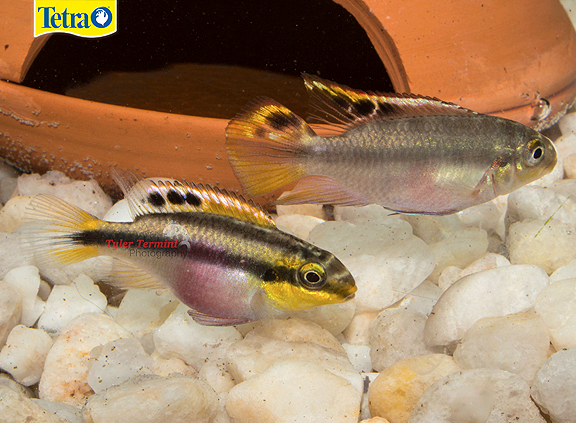 Kribensis Cichlid Pelvicachromis Pulcher Kribensis Cichlids Are Relatively Peaceful And Tolerant So They Can Be Kept In Community A Fish Cichlids Fish Pet