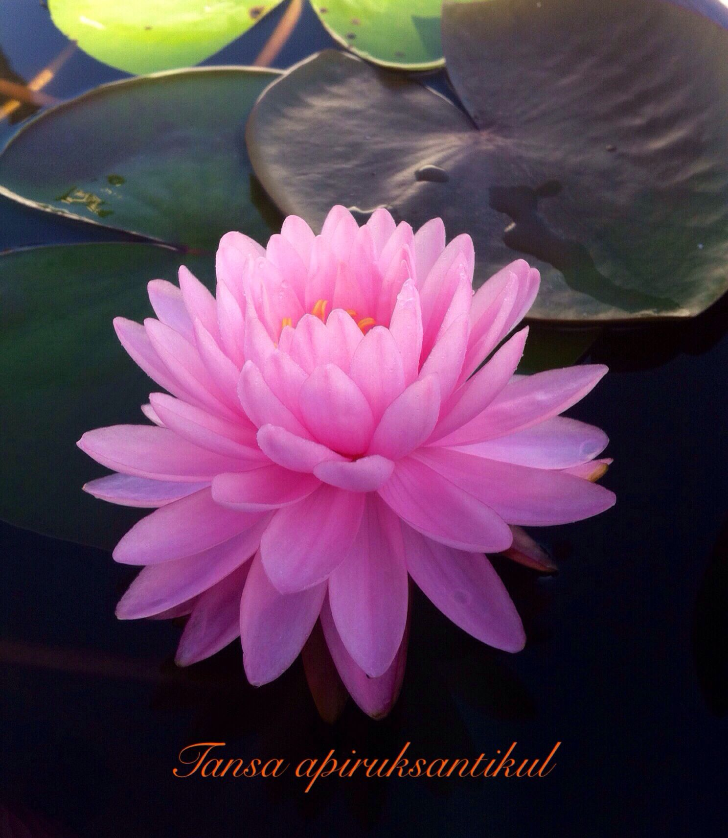 Nymphaeapink Pom Pom Tansa Waterlily Pinterest Water Lilies
