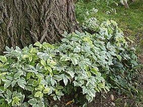 Installer un couvre-sol sous un arbre