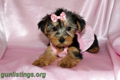 Teacup Yorkie Puppy For Sale In Florida Teacup Yorkie Puppy Yorkie Puppy For Sale Puppies