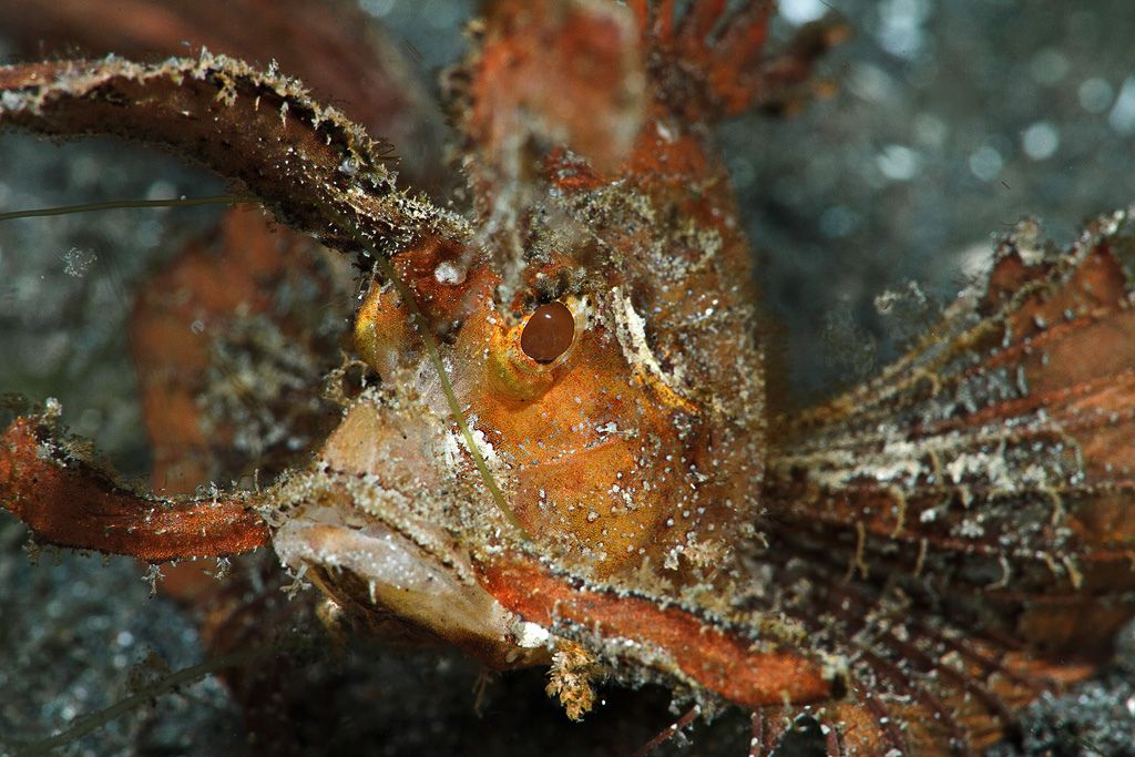 Ambon scorpionfish | Flickr - Photo Sharing!
