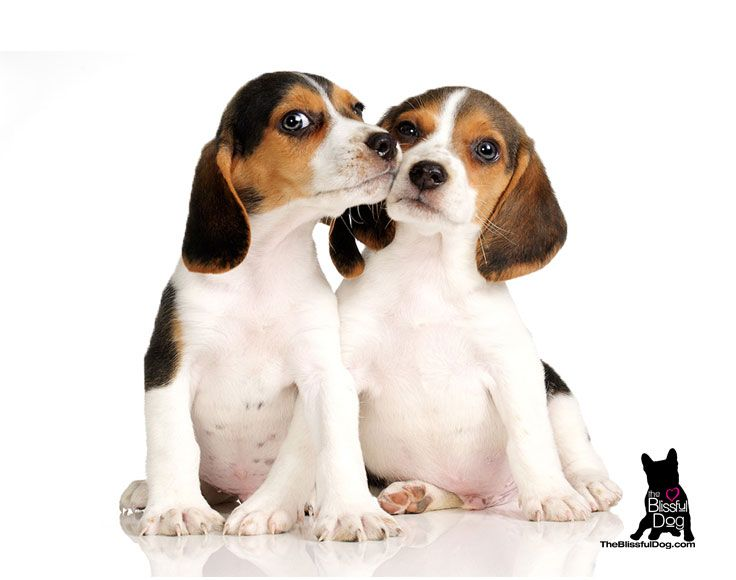 Beagle Nose Butter Beagle Puppy Potty Training Tips Beagle