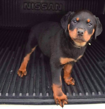 Have You Been Thinking About Adopting A Rottweiler This Is Your Sign Click Here To Find Out More About Good Dog S Certif Rottweiler Rottweiler Puppies Dogs