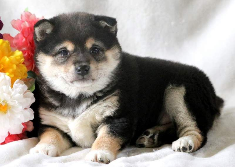 Victoria Health Guaranteed Keystone Puppies Shibainu Keystonepuppies Puppies Shiba Inu Puppy Shiba Inu