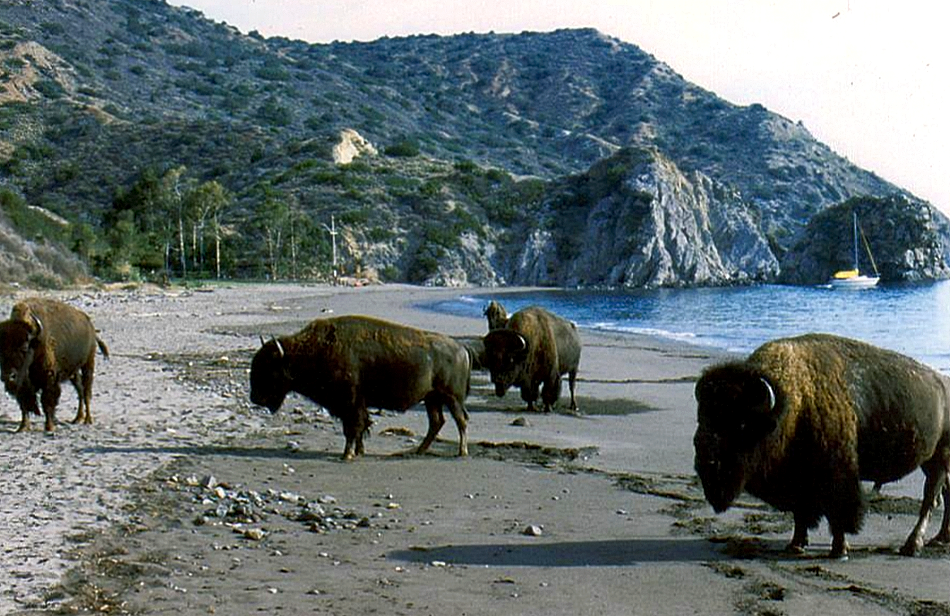 Image result for buffalo on catalina island
