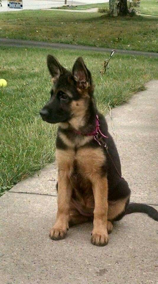 3 4 Month Old Pup German Shepherd Puppies Puppies Animals