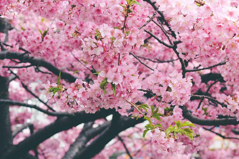 Kawazu Zakura Early Cherry Blossoms Cherry Blossom Blossom Sakura