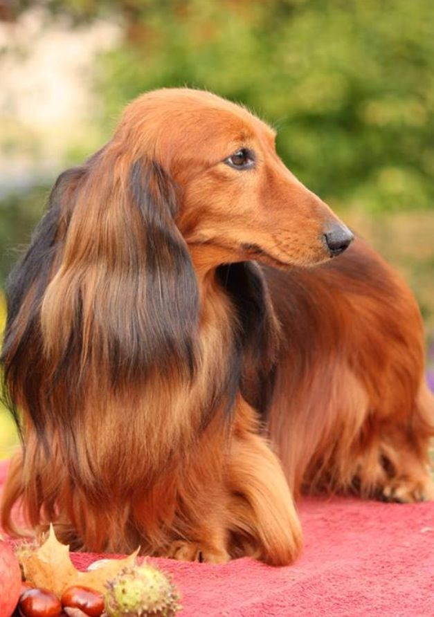Dachshund OMG! Such a gorgeous Long Haired Dachschund! I'd LOVE to own her/him