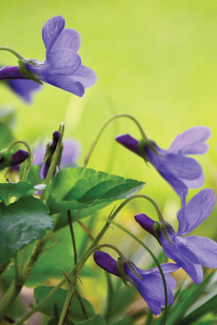 Medicinal And Culinary Uses For The Shy Violet Heirloom Gardener Fruit Garden Plans Violet Flower Beautiful Flowers Garden