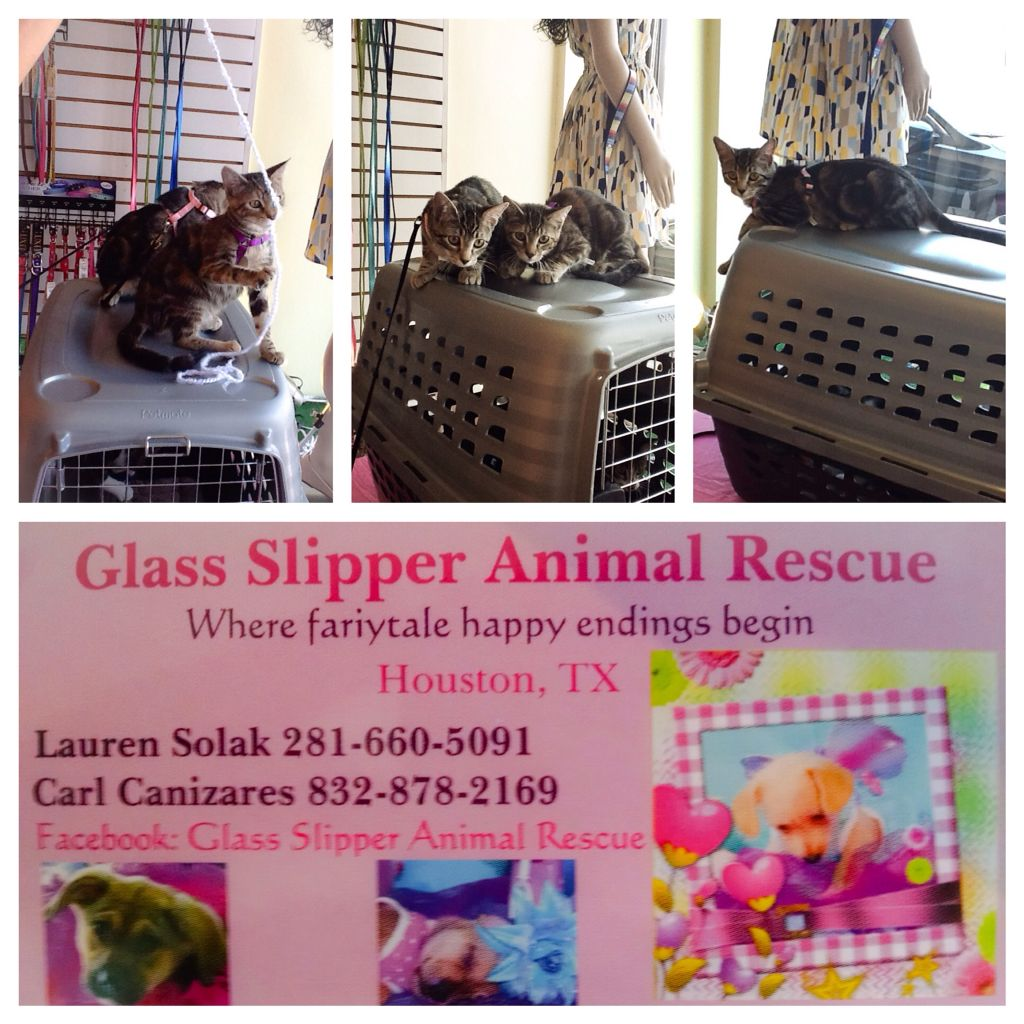 Pet Adoption Event Happening Now The Glass Slipper Rescue Is Here With 16 Week Old Kittens Up For Adoption Adopt A Kitte With Images Pet Adoption Event Kitten Adoption