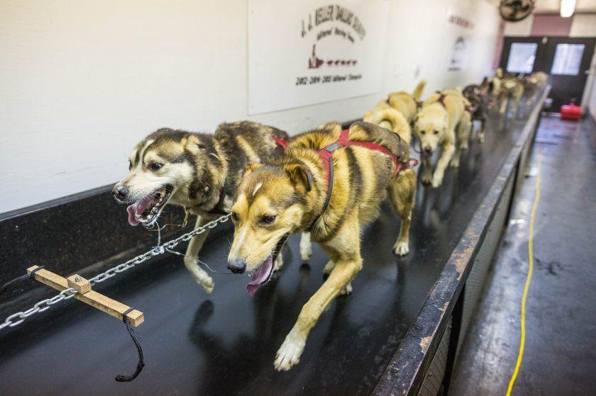 Iditarod Champ Dallas Seavey Adds Dog Team Treadmill To Training