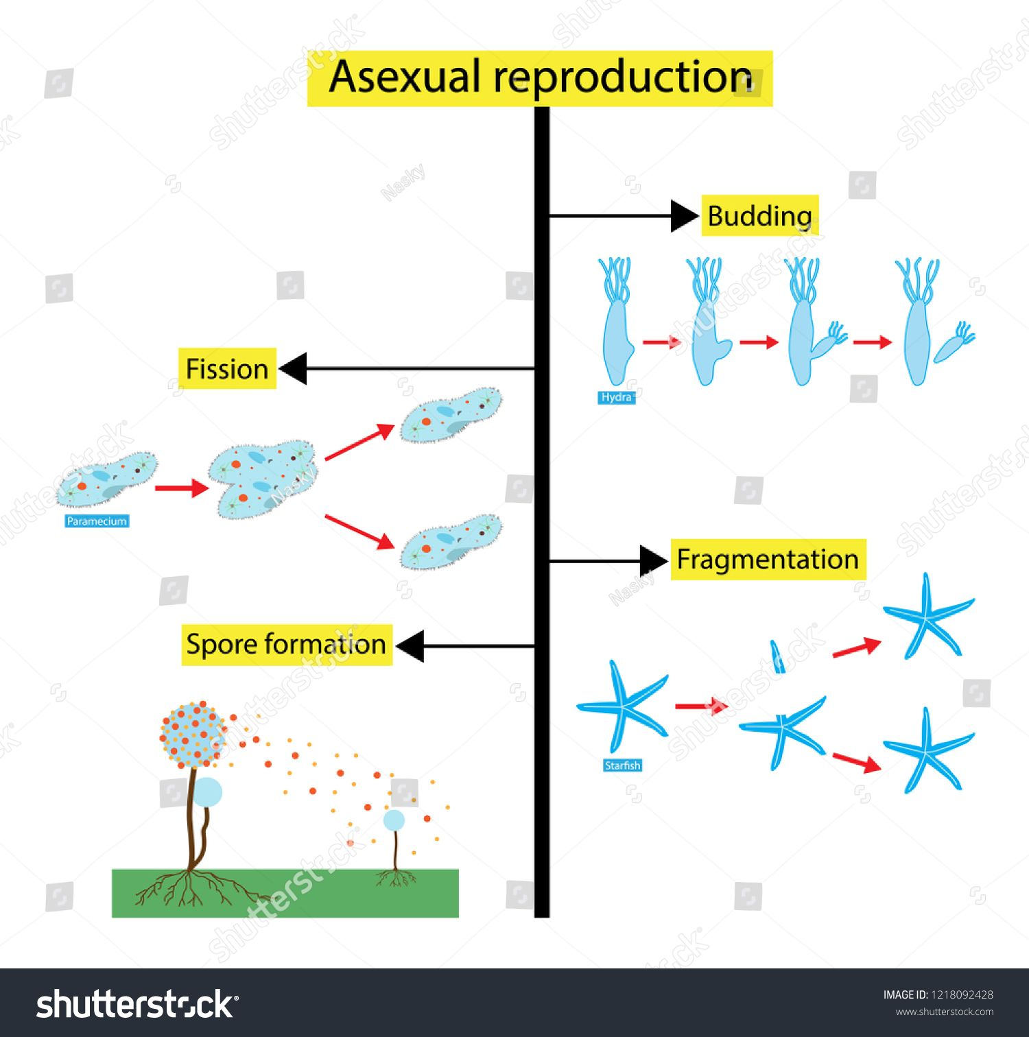 hight resolution of illustration of biology asexual reproduction is a type of reproduction by which offspring arise from a single organism and inherit the genes of that