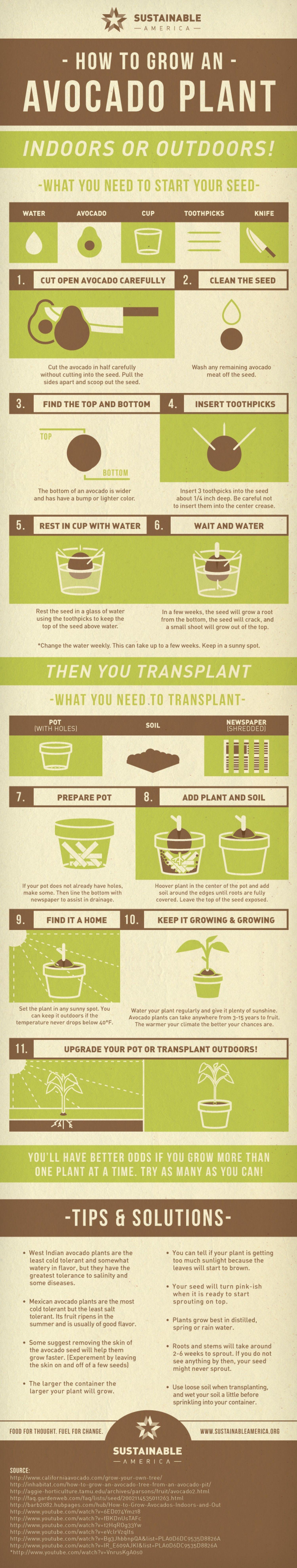 How to Grow an Avocado