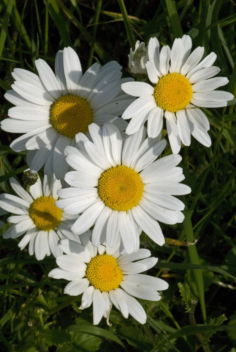 How wildlife friendly is your garden find out by joining in our national flower of latvia oxeye daisy izmirmasajfo