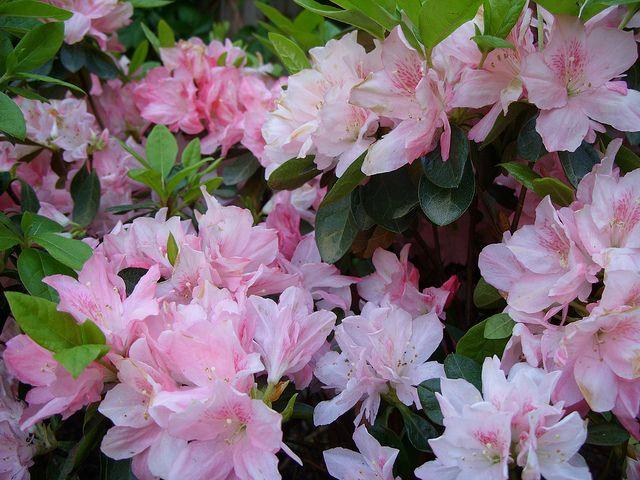Azalea Pink Pearl Azaleas Variegated Plants Pink Pearl
