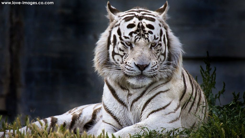 Download Top Best Ultra Hd 4k Computer Desktop Wallpapers Tiger Images Tiger Wallpaper White Tiger