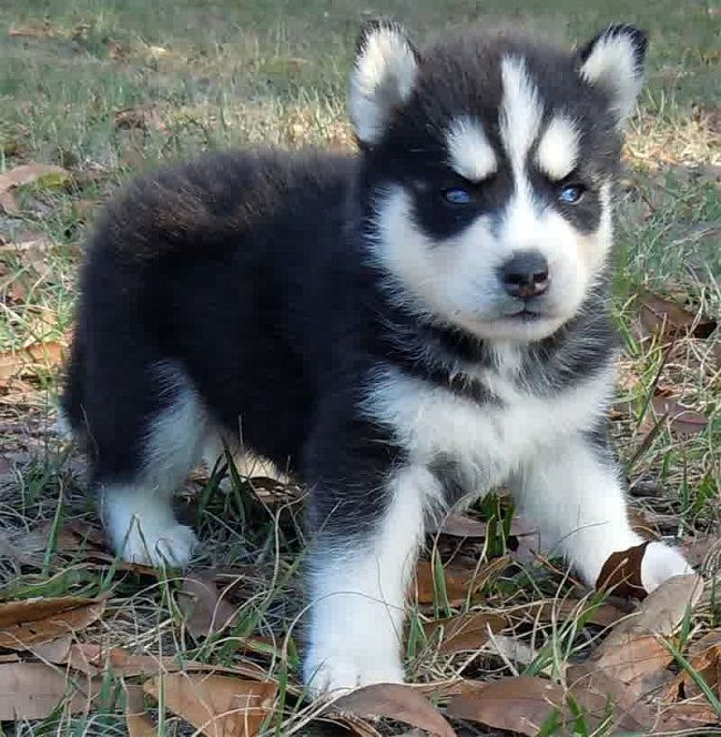Miniature Siberian Husky Puppies For
