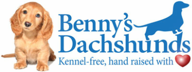 Kennel Free Dachshunds Puppies From Wilmington Nc Cream Dachshund English Cream Dachshund Dachshund