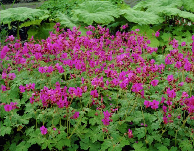 Geranium macrorrhizum bevan 39 s variety ground cover for Perennial ground cover with pink flowers