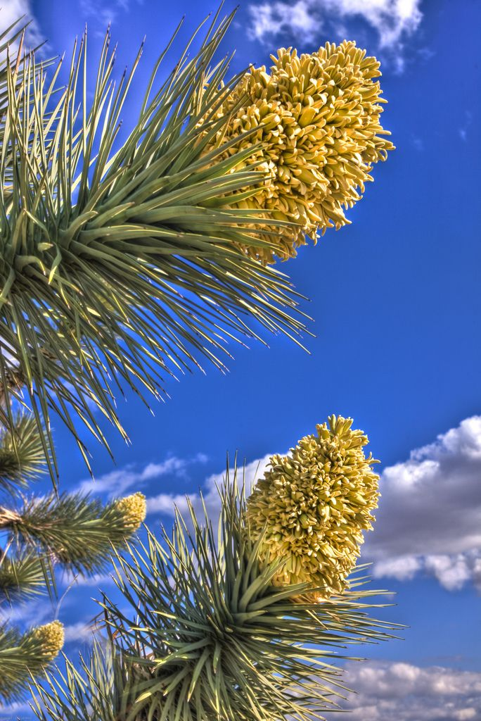 The Joshua Tree has bell-shaped blooms, 1.25 to 1.5 inches large, each with 6 creamy, yellow-green sepals, crowded into 12 to 18 inch, many-branched clusters with an unpleasant odor. The trees bloom mostly in the spring, Joshua tree forest parkway State route 93. Arizona. paulgillphoto.com © All Rights Reserved.