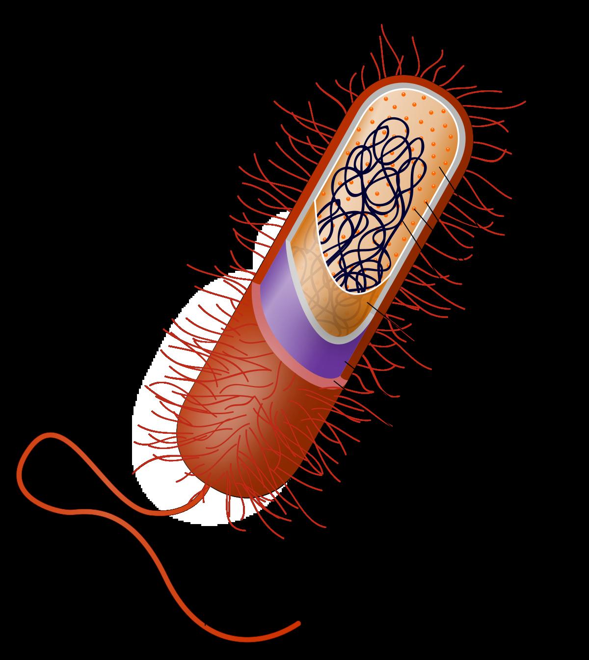 La estructura celular procariota básica tiene los siguientes ...