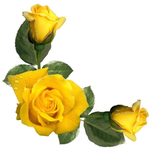 Wallpaper Of Yellow Rose: Beautiful Yellow Roses Decor PNG Image Liked On Polyvore