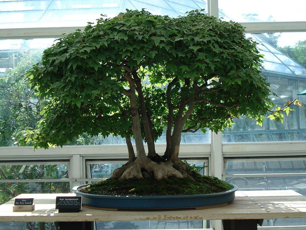 50 Trident Maple Acer Buergeranium Tree Seeds For Bonsai Yard Garden Specimen