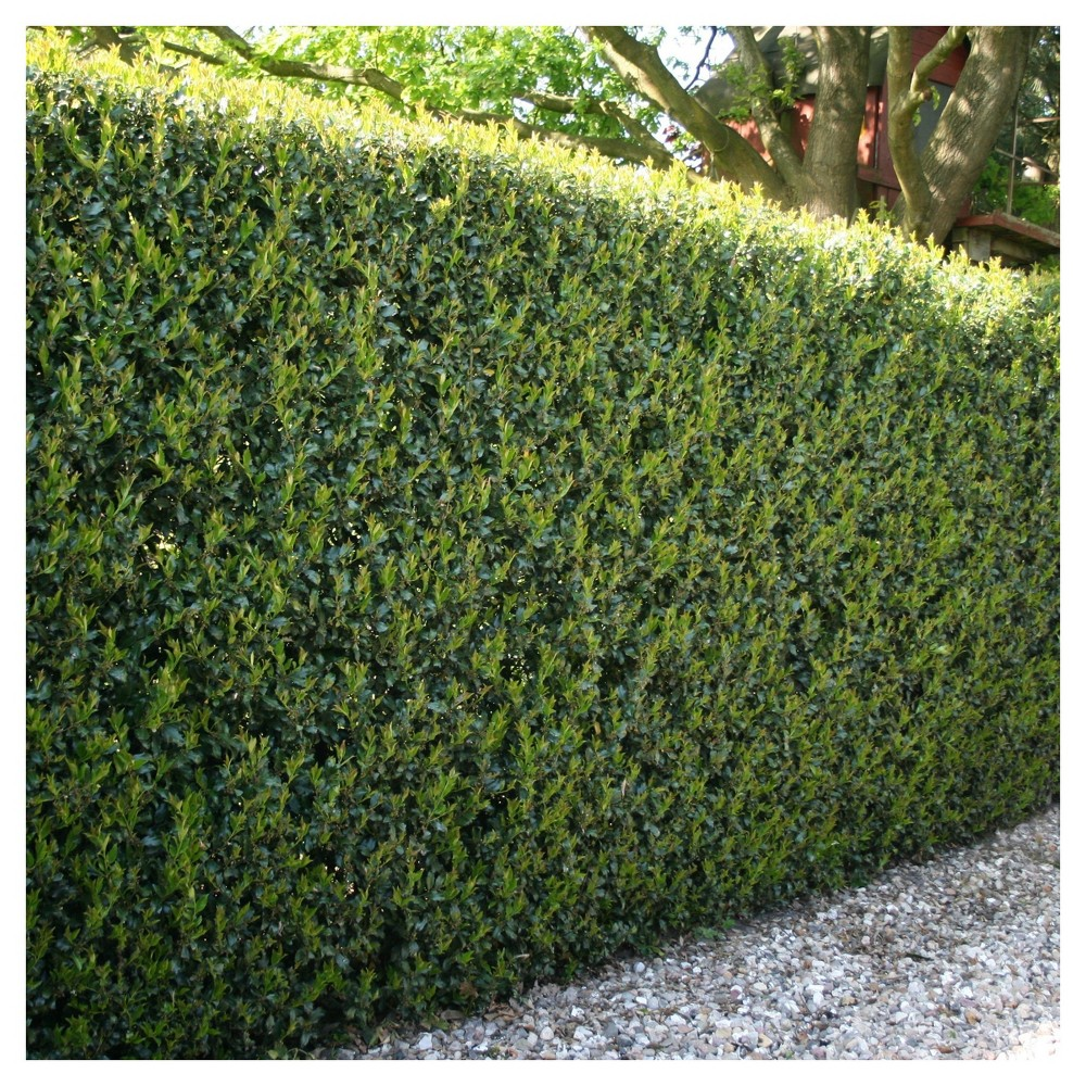 Holly Compacta 1pc National Plant Network U S D A Hardiness Zone 6 9 2 5 Quart In 2020 Hedges Garden Hedges Plants