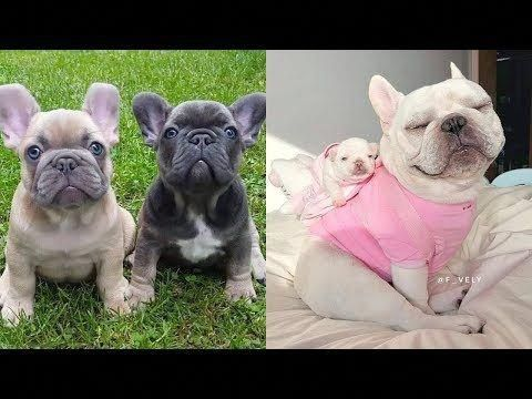 French Bulldog Brindle French Bulldog Funny Dog Videos Cute